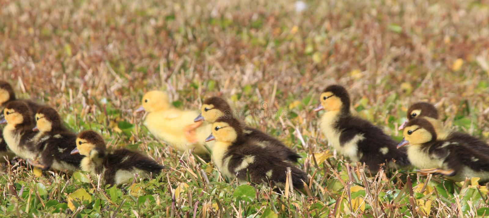 Duckling Train. Groupo of ducklings in a row royalty free stock photography