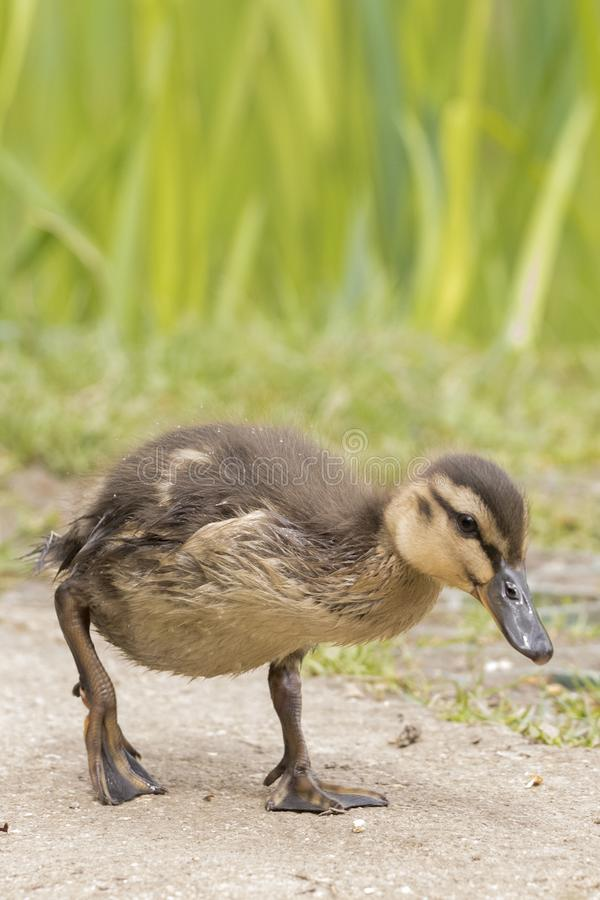 Download A duckling walking stock image. Image of duck, small - 115967657