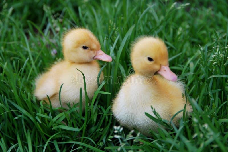 ducklings arkivbilder