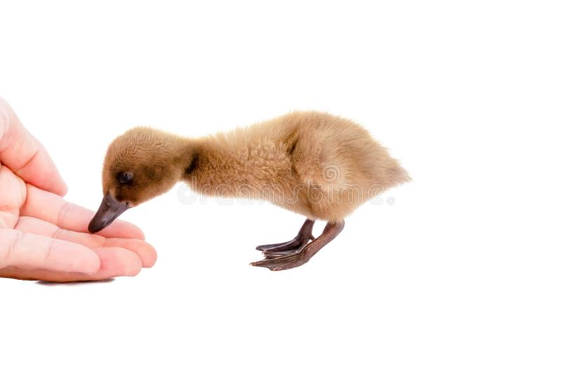 Ducklings are coming to eat food from hands.  stock photos