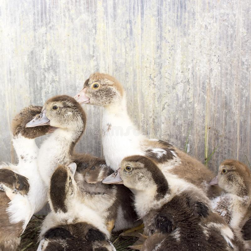 Duck broiler on a home farm. Ducklings in a home farm. Close up of duckling, broiler, agriculture, animal, bird, agricultural, industry, poultry, feather, group stock photos