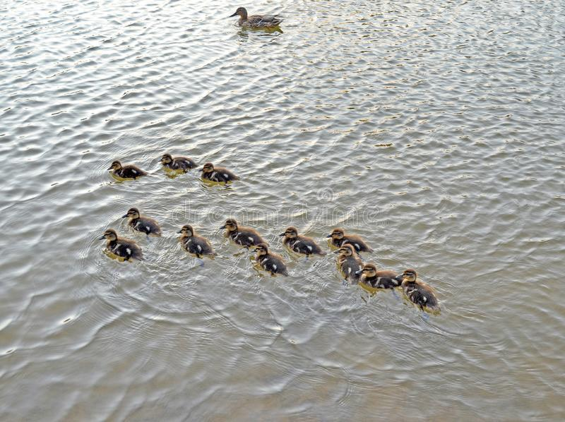 Ducklings on the lake in natural habitat stock photo