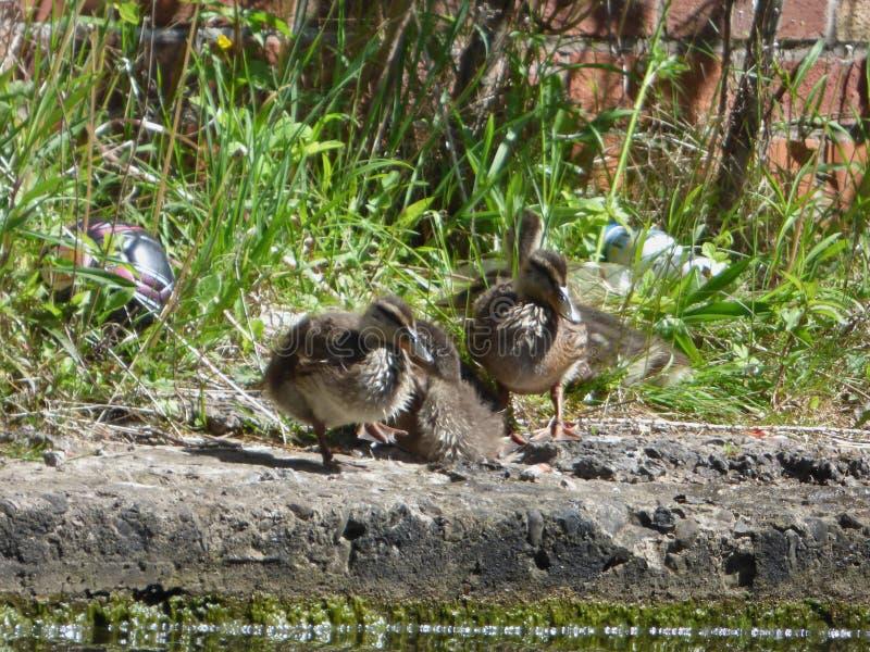 ducklings little tre arkivfoto