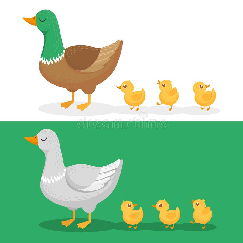 Ducklings and mother duck. Ducks family, duckling following mom and walking mallard baby chicks group cartoon vector stock illustration