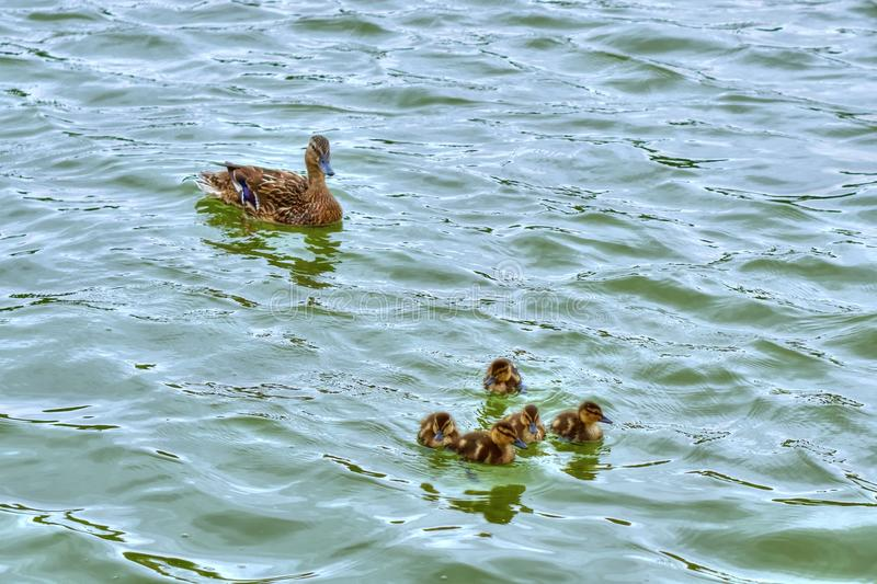 Ducklings and mother duck floating on lake stock photo