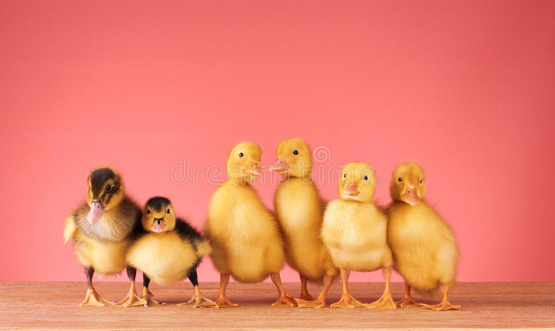 Download Ducklings on a red stock image. Image of babies, beak - 19996725