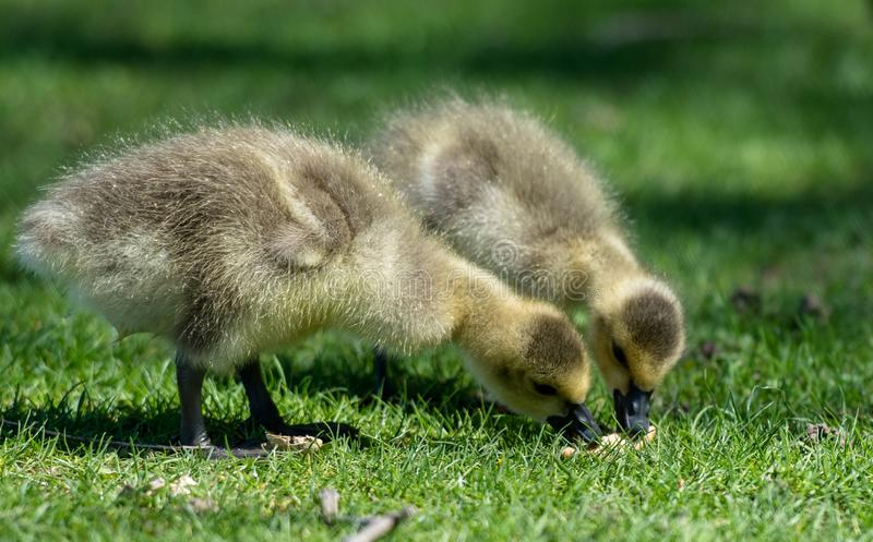 Ducklings Spring in the nature royalty free stock photography