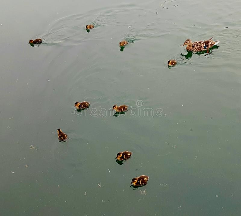 Ducklings and their mother on the water stock photos