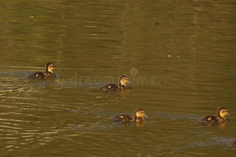 Ducklings in the sun - France. Ducklings which swim in the lake of the pond of the mute. They are some backs the others and are enlightened by the sun. The lake royalty free stock photography