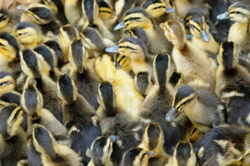 ducklingsfokus little som är grund royaltyfria bilder