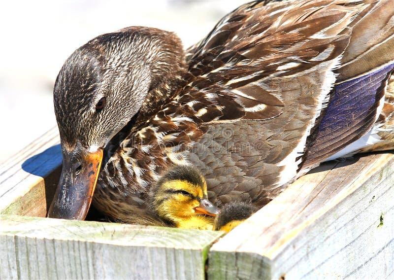 Ducklingsgräsand