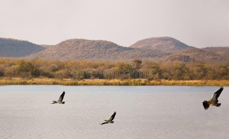 ducks египтянин стоковое изображение rf
