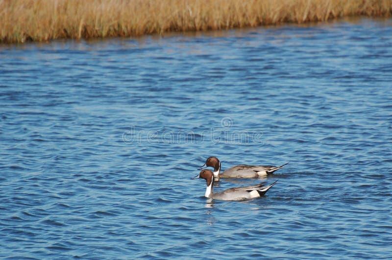 ducks заплывание pintail болотоа стоковые фотографии rf