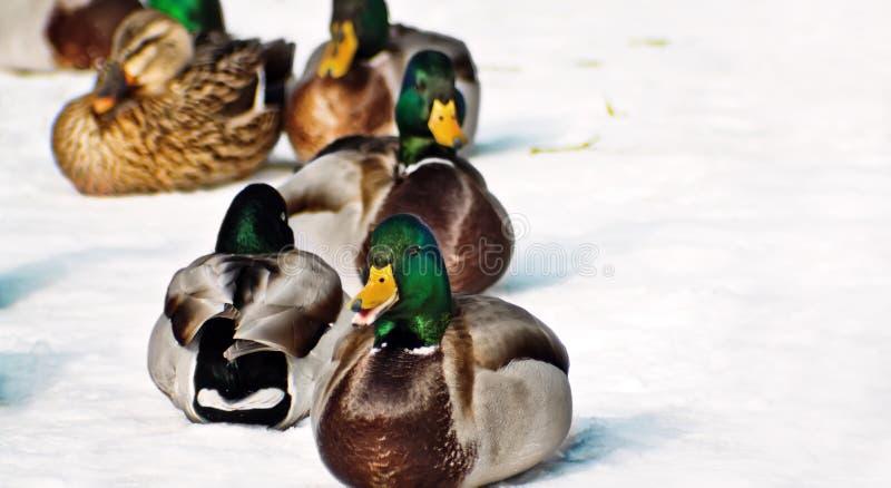 Download Ducks зима стоковое фото. изображение насчитывающей снежок - 18382880