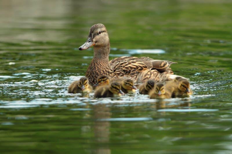 Ducks семья на поверхности воды стоковое фото
