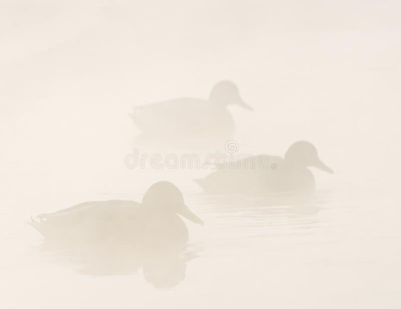ducks туман стоковые изображения rf