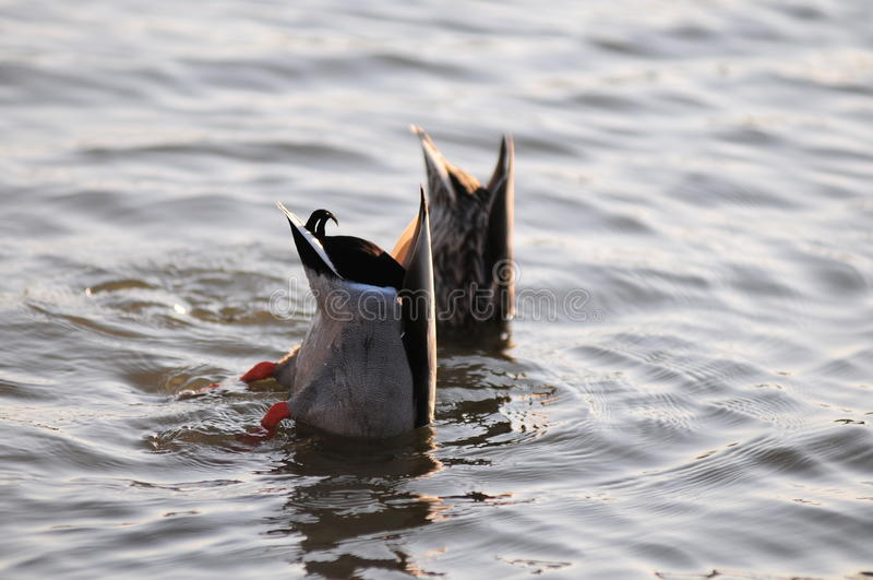 Ducks. A picture of ducks bobbing for food in forest park stock photography
