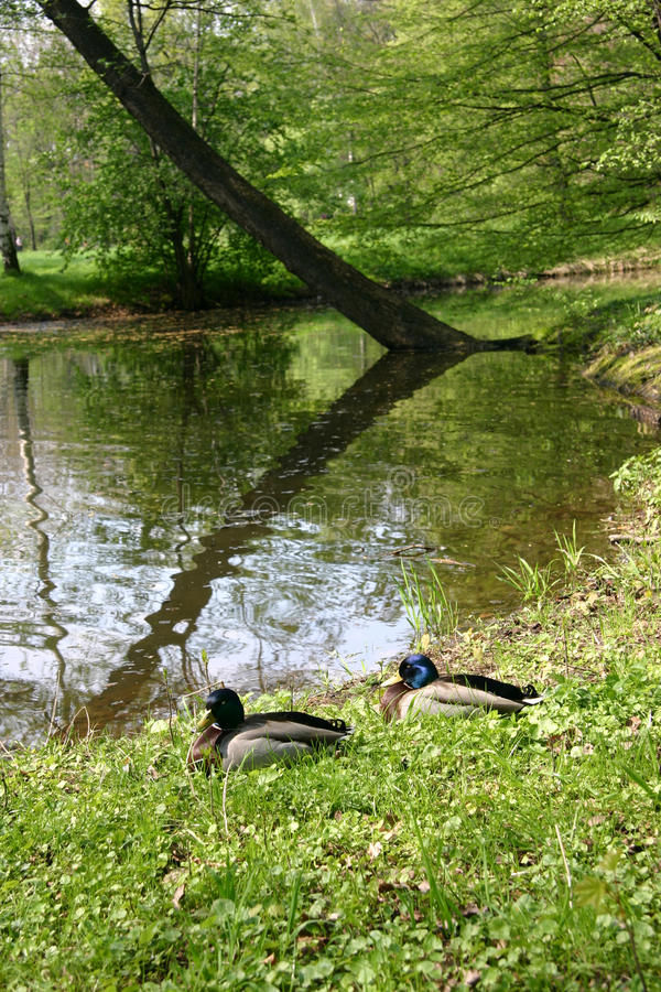 Download Ducks stock photo. Image of forest, grass, tree, pond - 13286796