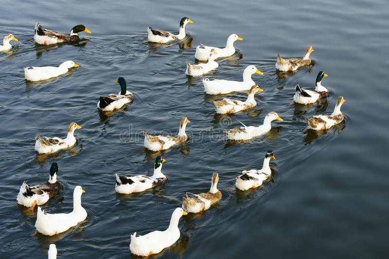 Download Ducks stock image. Image of group, birds, ducks, duck - 16199715