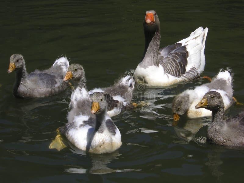 Download Ducks stock image. Image of swimming, family, birds, animals - 2805369