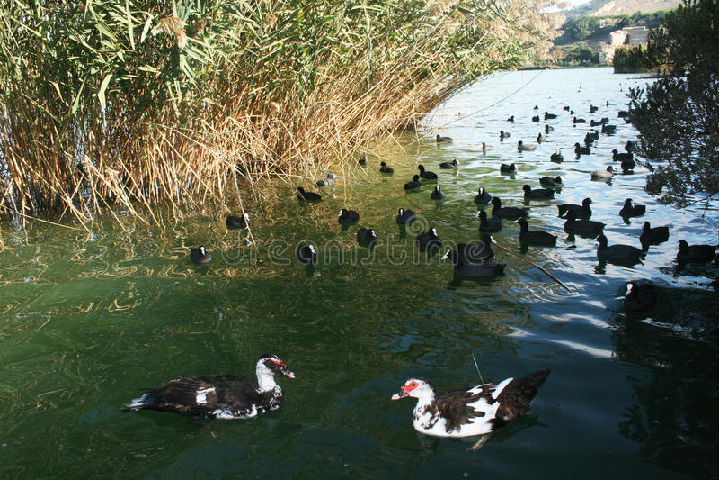Download Ducks stock image. Image of ducks, animals, averno, lake - 28719983