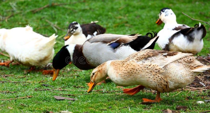 Download Ducks stock photo. Image of beak, down, spring, duckling - 29532338