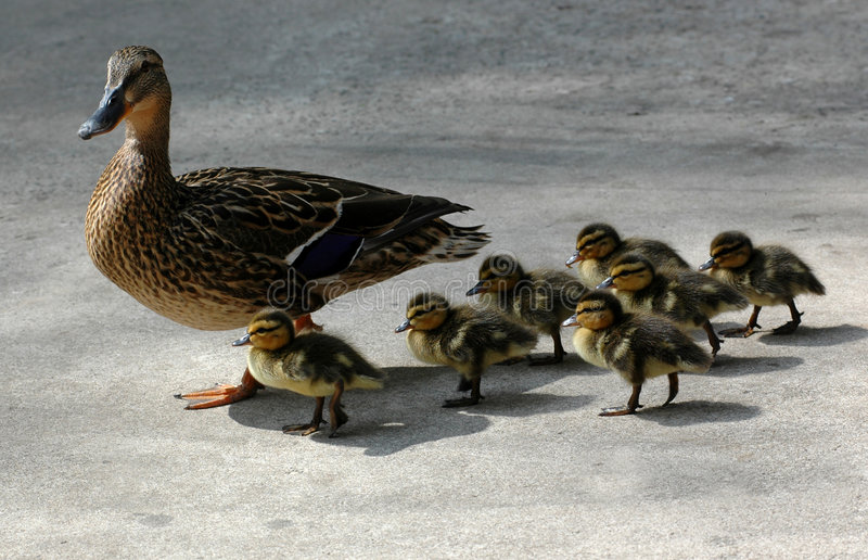 Download Ducks stock photo. Image of formation, peace, mother, duck - 460348