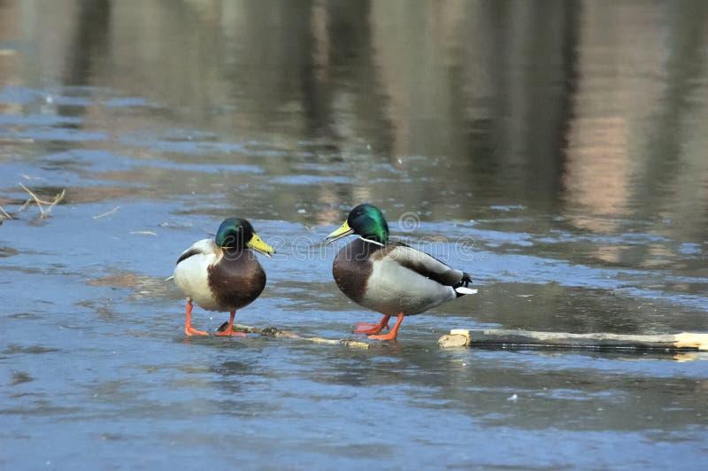 Download Ducks Stock Photos - Image: 5199133