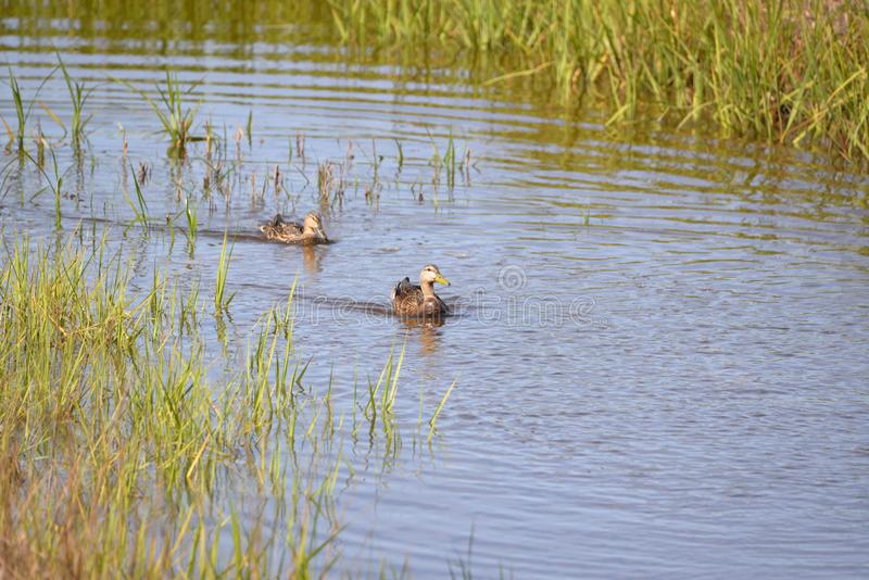 Ducks search the shallow water of the Egans Creek Greenway royalty free stock images