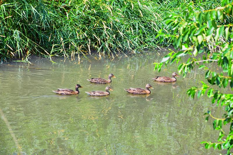 Ducks Anatidae swimming and resting in the water and banks of the Jordan River Trail with surrounding trees, Russian Olive, cott. Onwood and muddy stream along stock photo
