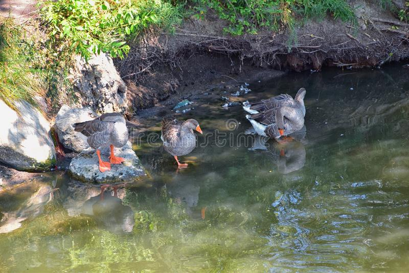 Ducks Anatidae swimming and resting in the water and banks of the Jordan River Trail with surrounding trees, Russian Olive, cott. Onwood and muddy stream along stock image