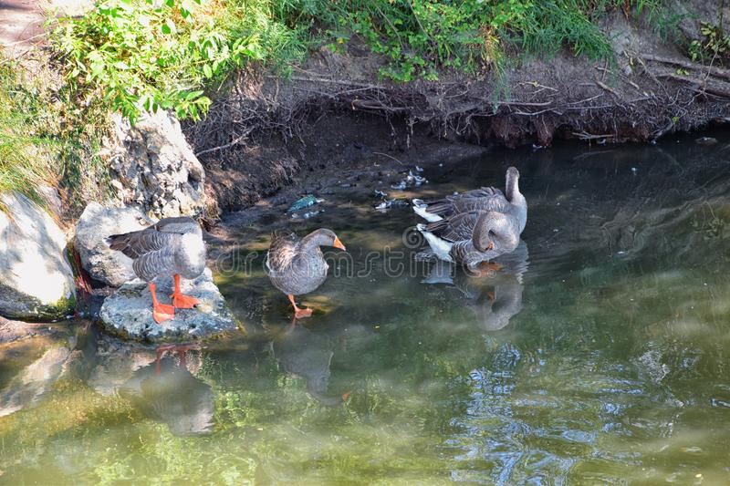 Ducks Anatidae swimming and resting in the water and banks of the Jordan River Trail with surrounding trees, Russian Olive, cott. Onwood and muddy stream along stock photos