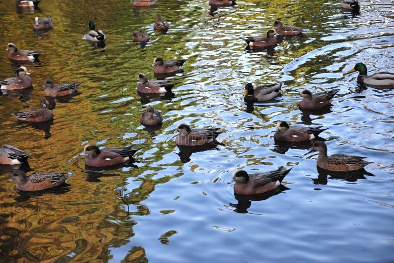 Ducks in beacon hill park