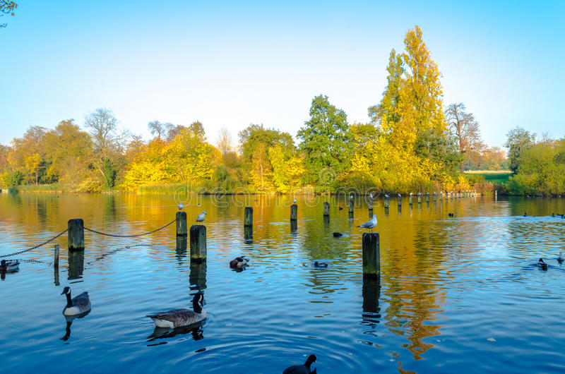 Ducks and doves at Hyde Park, London. The Serpentine Lake at Hyde Park rich in flora and fauna in autumn royalty free stock images