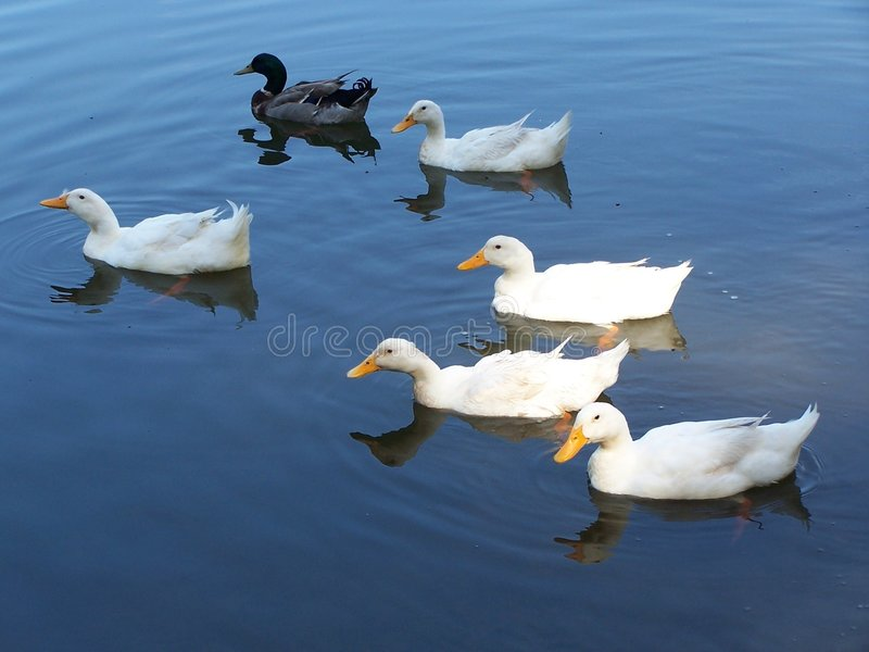Ducks in blue water royalty free stock photos