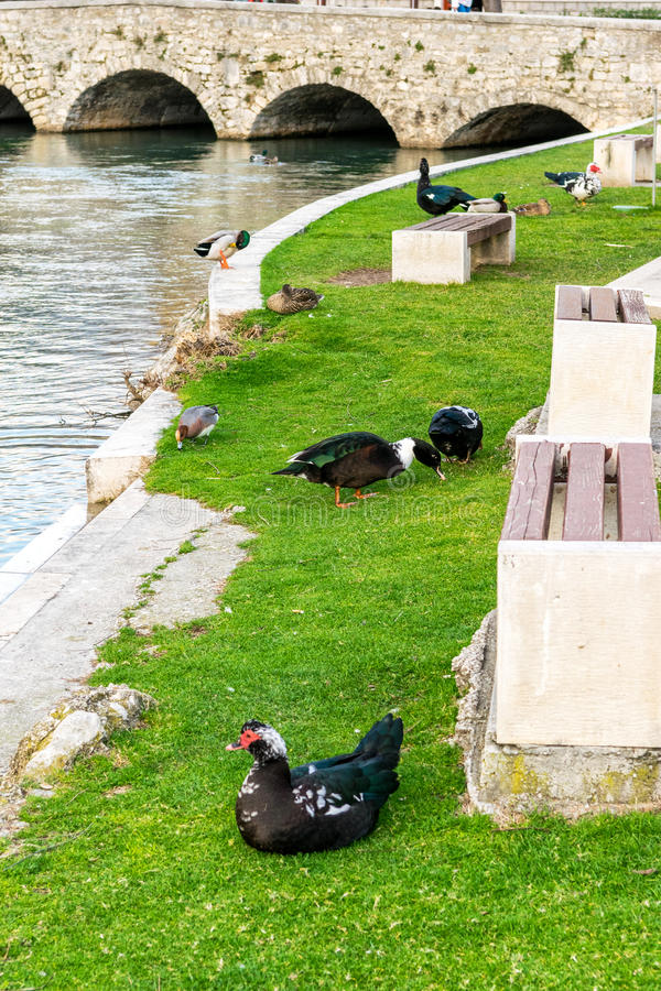 Ducks in a city park in Solin, Croatia, enjoying by the water.  stock images