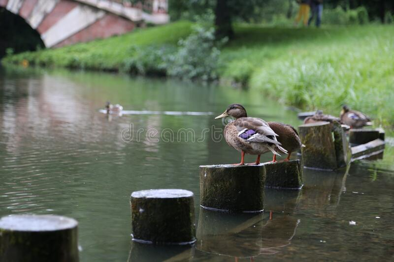 Ducks in the city Park Tsaritsyno Moscow stock images