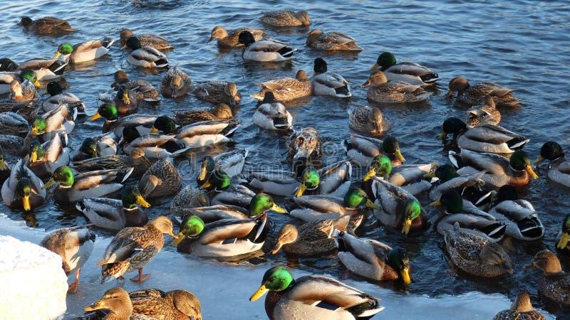 Download Ducks come ashore stock photo. Image of frozen, savonlinna - 83705426