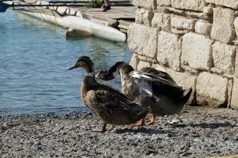 Ducks couple at the beach. Ducks couple intending to have a refreshing swim in the sea during hot sunny noon in Agios Nikolaos city, Crete, Greece stock image