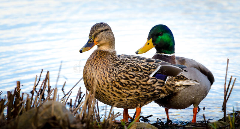 Ducks couple royalty free stock image