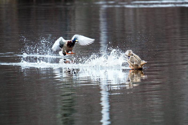 Ducks crash landing in a lake royalty free stock photography