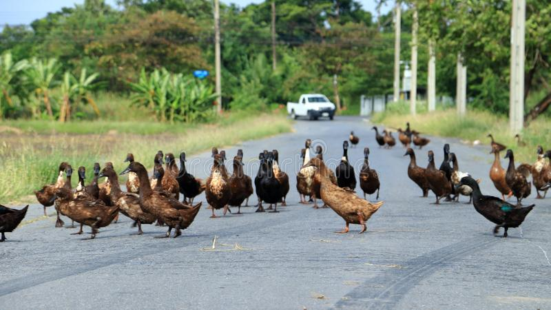 Ducks crossing the road in an orderly line royalty free stock photo