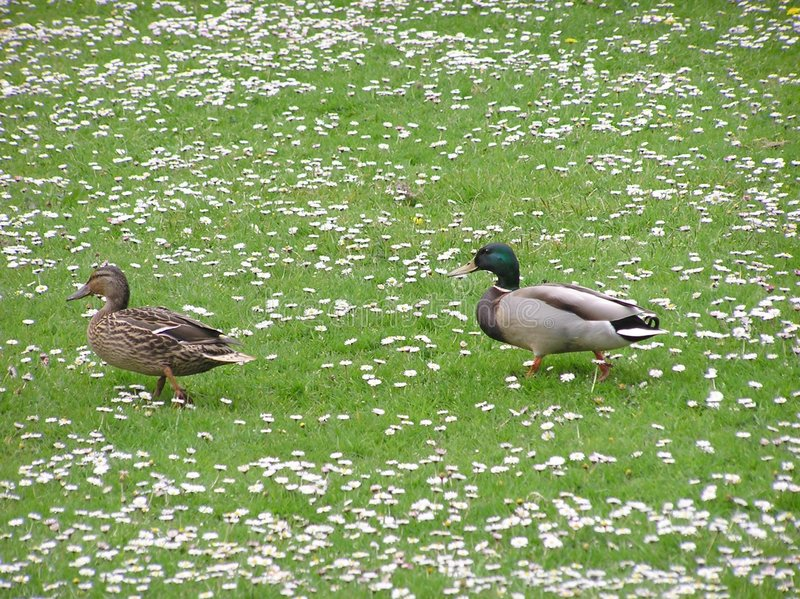 Download Ducks In Daisies stock image. Image of mallards, fowl, waddle - 116727