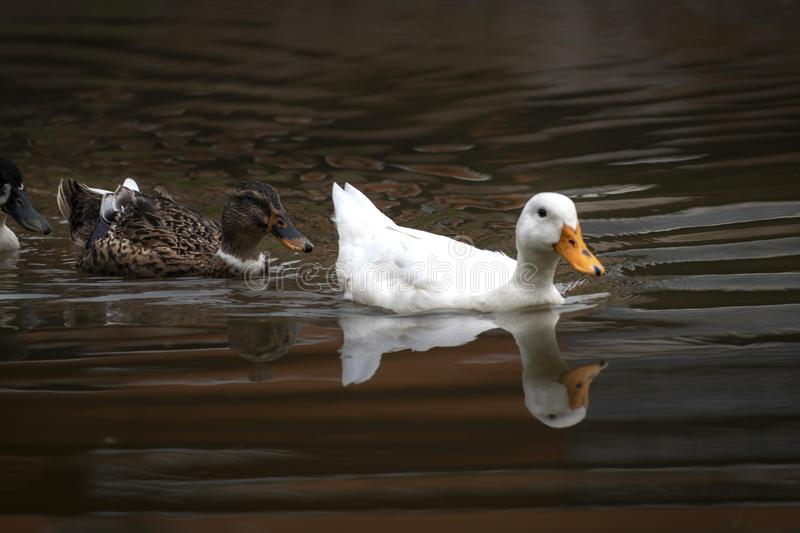 Ducks and drakes swim in the water of the lake. Mating ducks in stock images