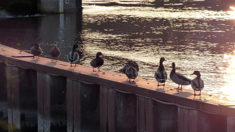 Ducks Drying Off. These ducks stay warm and dry on a Summer`s day standing on a metal divider next to a fast moving river royalty free stock photography