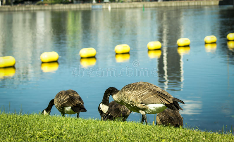 Ducks eating on the grass by the water stock photography