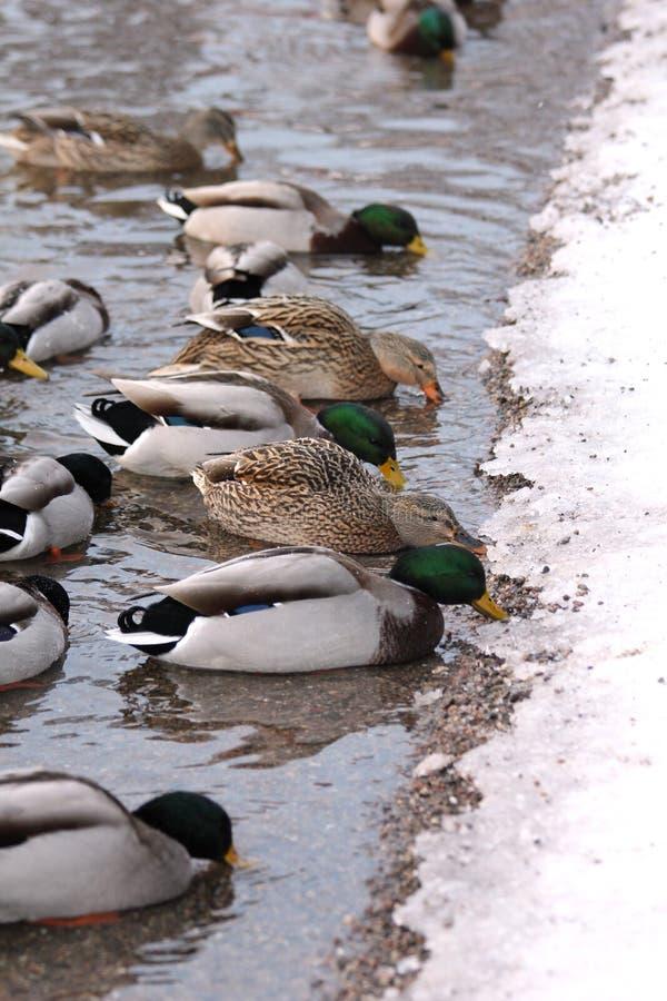 Download Ducks Eating At A Lake Border Stock Image - Image: 17491805