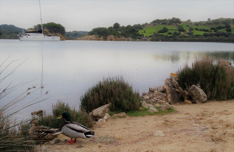Ducks enjoing de una bahía serena imagen de archivo
