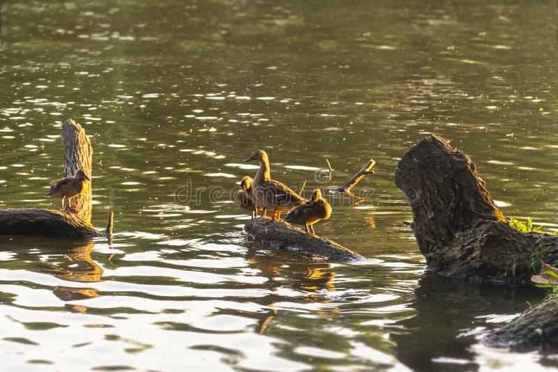 Ducks a família que senta-se em um log de madeira Noite morna do verão imagens de stock royalty free