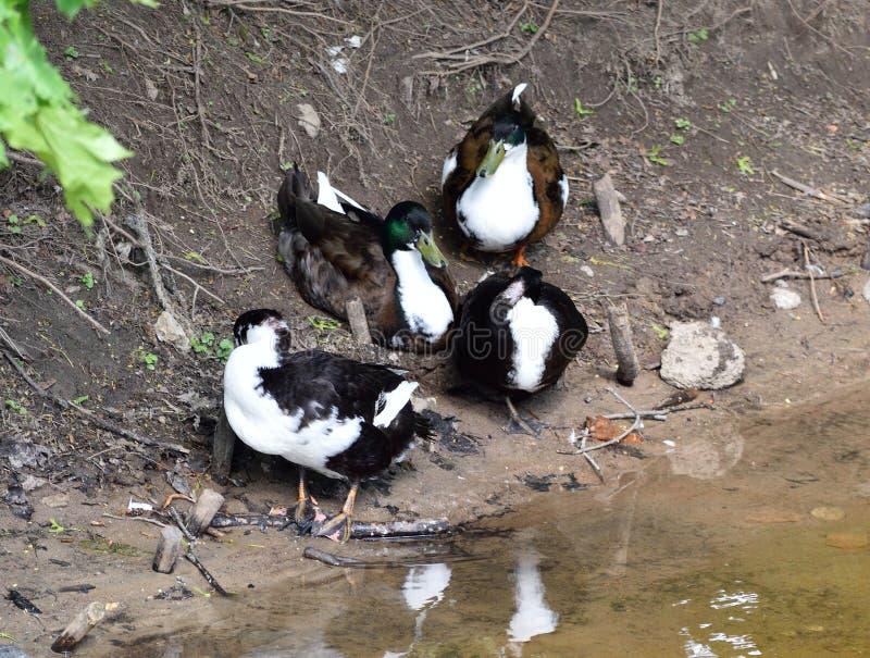 Ducks family standing on a lake shore stock photos